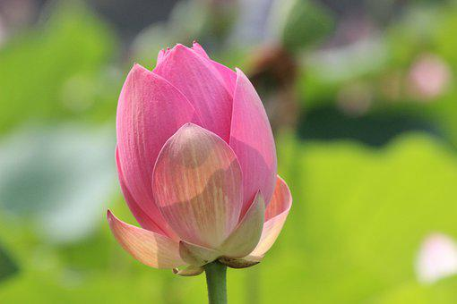 Lotus, Bud, Flower, Water Lily, Blossoming