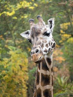 Giraffe, Head, Neck, Ossicone, Long Neck, Giraffe Head