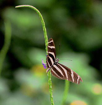Butterfly, Insect, Zebra Longwing Butterfly, Animal