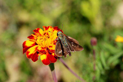 Butterfly, Insect, Marigold, Small Branded Swift