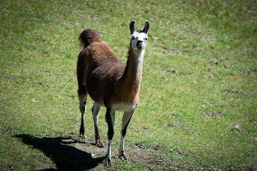 Llama, Animal, Livestock, Mammal, Meadow, Pasture