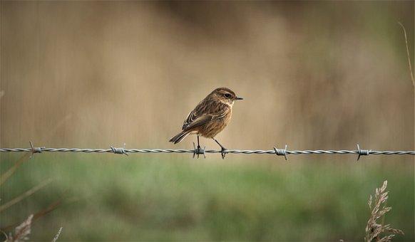 Stonechat, Bird, Animal, Siberian Stonechat