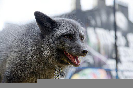 Doo, Pearl Fox, Predator, Mammal, Smile, Animals, Wild