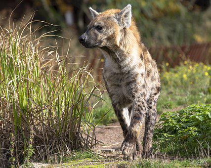 Hyena, Animal, Wildlife, Spotted Hyena, Laughing Hyena