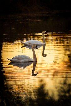 Swans, Birds, Lake, Waterfowls, Water Birds