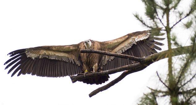 Eagle, Bird, Wings, Spread, Feathers, Plumage