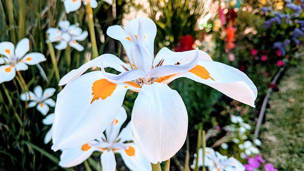 Wood Iris, Flower, Petals, Fortnight Lily, African Iris