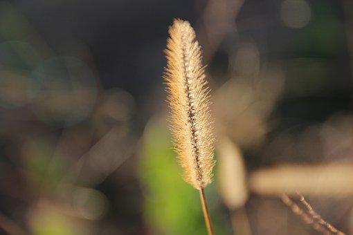 Yellow Foxtail, Grass, Plant, Yellow Bristle-grass