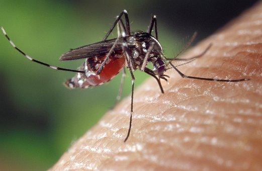 Mosquito, Female, Aedes Albopictus, Human Blood Supply