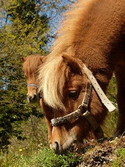 Pony, Eat, Graze, Horse, Shetland Pony, Animal, Fur