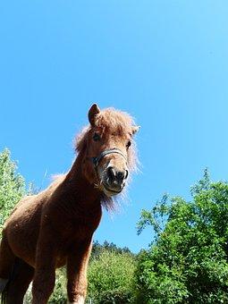 Shetland Pony, Pony, Horse, Animal, Fur, Wuschelig