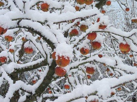 Apple Tree, Snow, Red, White, Winter, Apple, Nature
