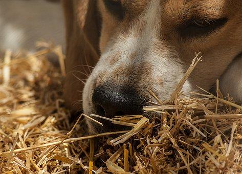 Dog, Hunting, Pack, Beagle