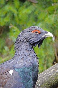 Auerhahn, Bird, Species, Forest Dwellers, Pheasant-like
