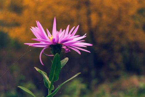 Centaurea Jacea, Autumn, Flower, Cobweb, Meadow, Nature