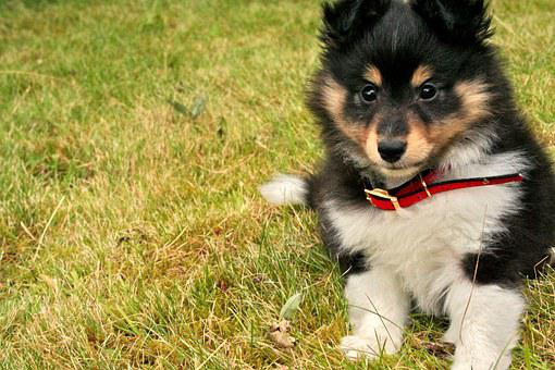 Puppy, Shetland Sheepdog, Canine, Cute, Shepherd