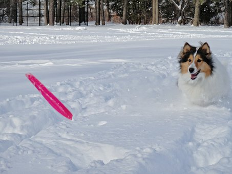 Shetland Sheepdog, Dog, Snowfields, Frisbee