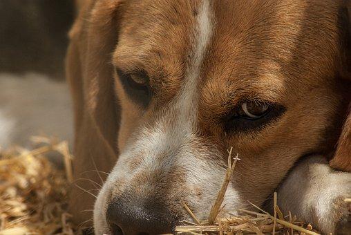 Dog, Hunting, Pack, Hunting Dog, Beagle