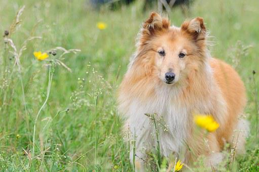 Sheltie, Dog, Animal, Shetland Sheepdog, Meadow, Wise