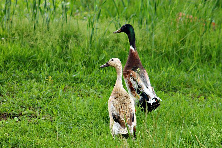 A Couple Of, Field, Economy, Farm, Duck, Winder Kaca