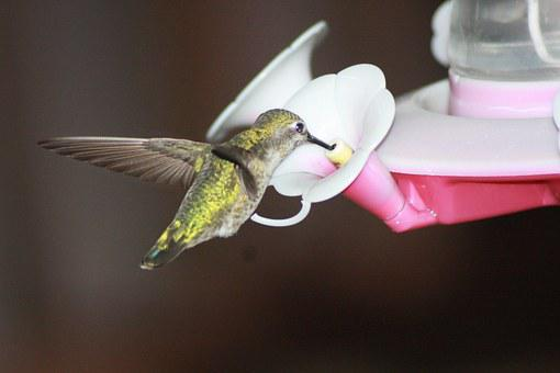 Hummingbird, Feeding, Hovering, Ruby-throated, Feeder