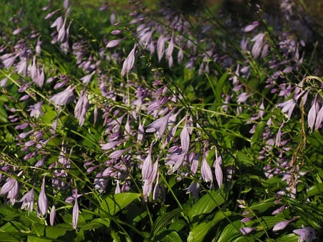 Plantain Lily, Flowers, Violet, Purple, Light Purple