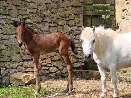 Animals, Horse, Foal, Pony, Shetland, Filly, Petit