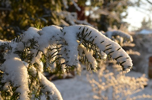 Branch, Winter, Snow, Fir, Yew, Conifer, Frost, Cold