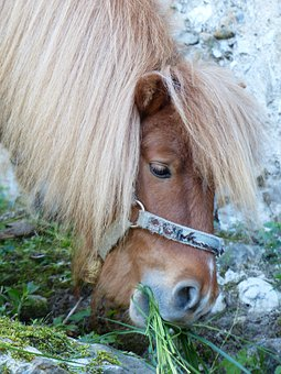 Graze, Eat, Shetland Pony, Pony, Horse, Animal, Fur