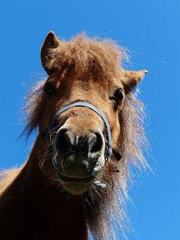 Shetland Pony, Pony, Head, Funny, Wuschelig, Hairy, Fur