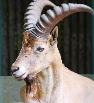 Capricorn, Alpine Ibex, Horns, Mammal, Goatee