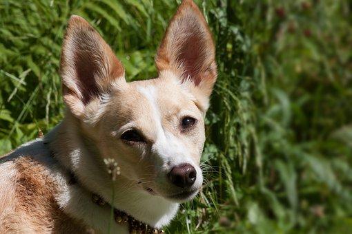 Podenco Canario, Dog Breed, Hybrid, Chihuahua