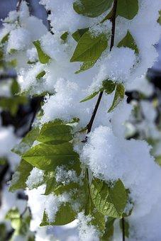 Snow In Spring, Leaves, Renewed Wintereinbruch