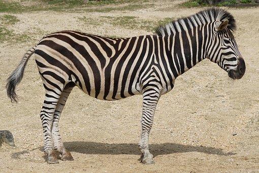 Zebra, Chapman Burchell's Zebra, Like A Horse