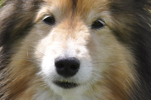 Dog, Canine, Shetland, Sheepdog, Cute, Macro, Close-up