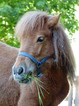Pony, Eat, Grass, Shetland Pony, Horse, Animal, Fur