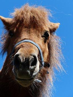 Shetland Pony, Pony, Head, Funny, Horse, Animal, Fur