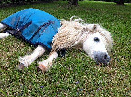 Shetland Pony, Horse, Nap, Shetland, Pony, Animal