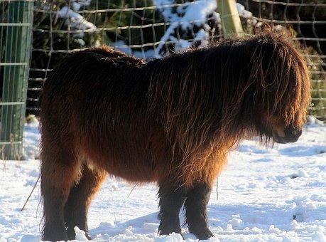 Shetland Pony, Horse, Pony, Animal, Wuschelig, Ride