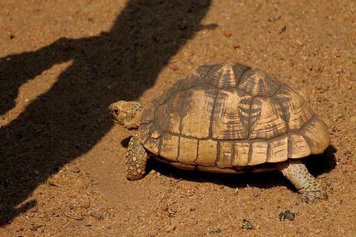 Tortoise, Animals, Mammals, Reptiles, Reptilian, Hard