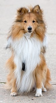 Dog, Sheltie, Shetland Sheepdog, Sitting, Portrait