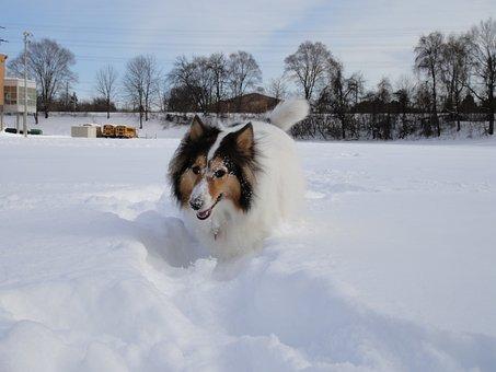 Shetland Sheepdog, Dog, Snowfields