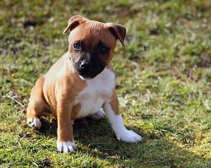 Puppy, Dog, Staffordshire Bullterrier, Pet, Animal