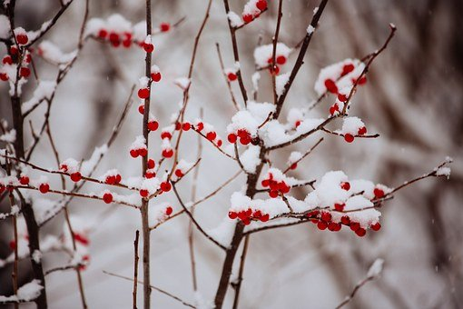 Winter, Snow, Berries, Covered, Red, Cold, Frozen
