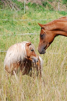 Pony, Horse, Shetland Pony, Friends, Ride, Coupling, Wq