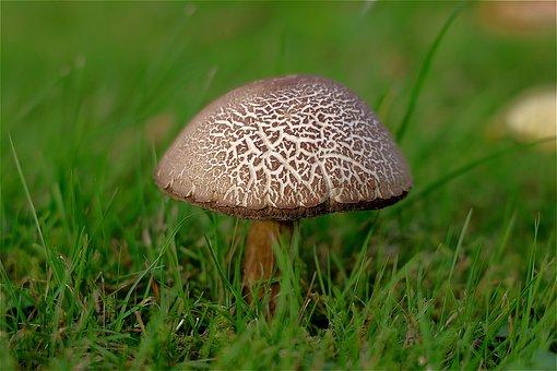 Mushroom, Birch Bolete, Birch Mushroom, Scaber Stalk