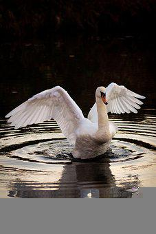 Swan, Bird, Lake, Waterfowl, Water Bird, Aquatic Bird