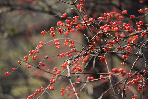 Berries, Fruits, Branches, Twigs, Red Berries, Harvest