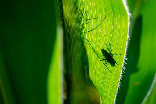 Fly, Insect, Plant, Corn, Corn Plant, Garden, Cereals