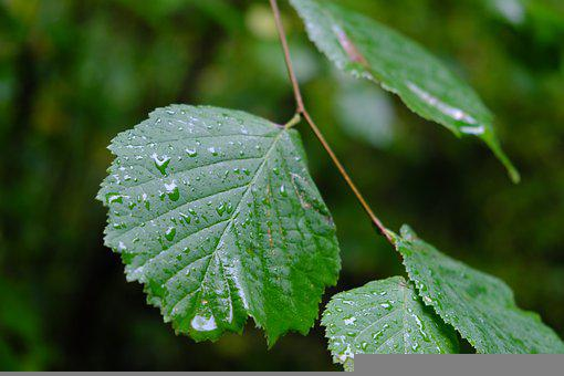 Leaves, Wet, Water Droplets, Raindrops, Wet Leaves